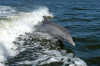 Delfín Nariz de Botella.