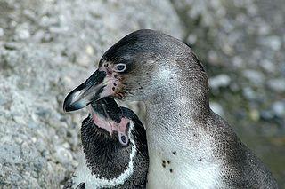 Pareja de Pingüinos de Humboldt.