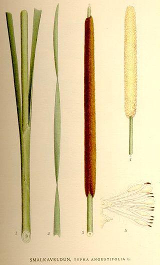 320px typha angustifolia nf